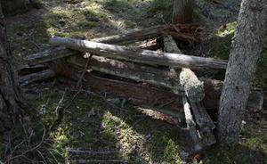 En kvarglömd vedtrave efter stormen 1954. Janols Kalle var rädd om sin skog.Han lät träden växa fritt vilket blev ett eldorado för växter och djur.Han fick aldrig någon silverkvist av skogsstyrelsen. I stället blev belöningen att hans skog i dag har avsatts som naturreservat till glädje för kommande generationer.