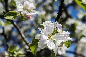 Äppelträdet står i full blom.