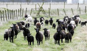 Lamm i fårhagen.