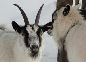Getterna på Vallby verkade trivas i vinterkylan.