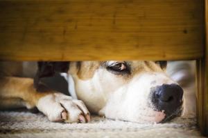 American staffordshire terriern Silvia nosar sig fram till insulinkänningar.