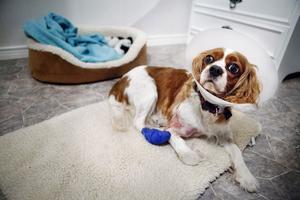 Chessie får ha bandage på baktassen och en plasttratt på huvudet så hon inte ska komma åt stygnen och klia upp såret.