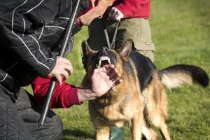 """TRÄNINGSLÄGER FÖR HUNDAR. I skyddsmomentet ska hunden runda sex skärmar. I det sjätte står en figurant, en instruktör med en skyddsärm i jute på sig, och väntar. Hunden ska då bevaka denna figurant och visa att den samtidigt klarar av att lyda och avvärja eventuella flyktförsök från figuranten. Mikael Cordeus är klädd i speciella vadderade byxor och jacka. """"Att bita i ärmen är inget man kan träna med vilken hund som helst. De måste vara lydiga."""""""