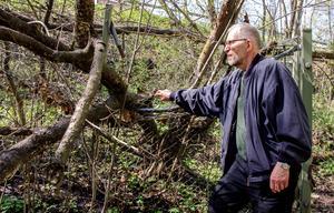 Peter Larsson kollar in trädet som har sänkt delar av stängslet. Området hägnades in redan 1933, i samband med att blomman fridlystes.