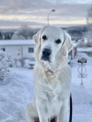 Om bilden: Gibson är 8 månader gammal och gillar snö, pinnar samt att mysa i soffan (men bara en liten stund, sen blir det för varmt). Bilden är tagen den 27/12 hos husses föräldrar utanför Örnsköldsvik. Foto: Liza Sundberg