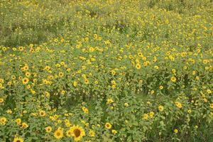 I Sunnanå, Bergvik, blommar solrosorna så fint i höstsolen.