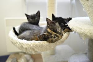 De cirka sex veckor gamla kattungarna är söta som socker och kommer garanterat att hitta nya hem så snart de läggs ut för adoption, men det blir först om många veckor.