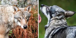 En jämthund skadades av varg förra veckan. (Hunden på bilden har inget med artikeln att göra) (foto: Anki Haglund/Ludwig Arlund)