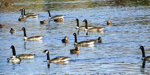 Sjöfåglar ligger bakom att badplatser stängs, här en samling gräsänder och kanadagäss.