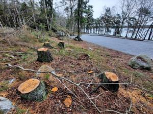 Åtta stora träd har kapats intill parkeringsytan. Foto: Privat