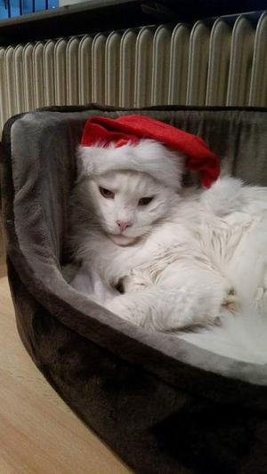 82) Vår snälla katt Lappen 11 år, av rasen Main Coon,tar sig en tupplur i väntan på Lucia. Foto: Anna Svensk