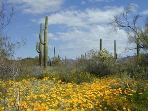 Ofta slås det larm om att klimatförändringarna kan medföra svårare torka i många regioner, men faktum är att öknar och savanner har blivit grönare de senaste 30 åren. Orsaken är ironiskt nog våra utsläpp av koldioxid. Bilden är tagen i Sonoraöknen i södra Arizona. Bild: AP Photo