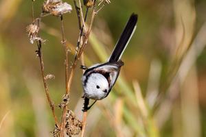 Stjärtmesen har klättrat på Dalalistan och passerat gråsparven – och var den elfte vanligaste vid årets fågelräkning. FOTO: PG BENTZ