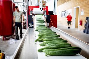 Gurkor på löpande bandet. Produkten är ny för företaget och årligen beräknas runt 1000 ton produceras.