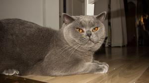 Bernhard tycker att älgkött är det bästa som finns i världen. Men kattmat med mycket sås går också bra enligt husse och matte.