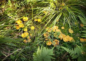 Kantarellen är en av de populäraste bland svenska matsvampar. För all plockad svamp gäller att den helst ska tillagas samma dag för att inte bli dålig.