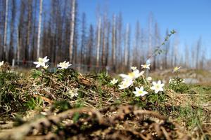 Hälleskogsbrännan blommar från slutet av maj till mitten av juli. Nu blir den föremål för en utflykt under Botanikdagarna.