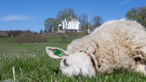 Länsstyrelsens beslut höll hela vägen genom rättssystemet. Det blir ingen skyddsjakt för att skydda fåren på Molstaberg från varg.