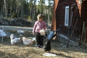 Esther ropar på gårdens Hedemorahönor på samma sätt som hönor kallar på sina kycklingar. Sedan bjuder hon dem på goda frön.