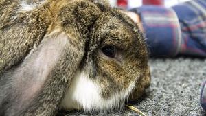 Lilla tysk vädur har Johny fött upp många, det är hans favorit och även en bra kanin för familjer.