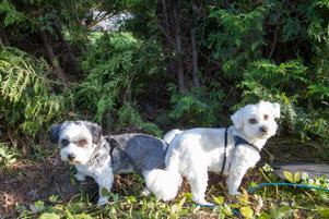Familjens båda hundar brukar springa runt lösa i trädgården. Dessa små hundar kunde ha träffats av bilen och oro finns att liknande olyckor kan hända igen.