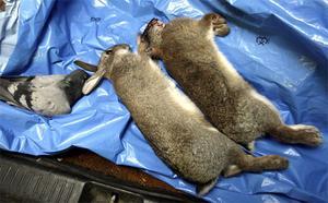 Duvan hade ramlat ner i en ventilationstrumma och Lars Nordström fick rycka ut och skjuta den. Kaninerna kommer från Alderholmen.