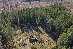Avverkning i ett skogsområde i Götaland som drabbats av granbarkborre. En skotare kör bort timmer. Bilden tagen i våras. Foto: Jeppe Gustafsson/TT