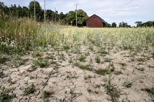 En bild från en veteåker under förra årets extrema torka. Foto: Christine Olsson / TT
