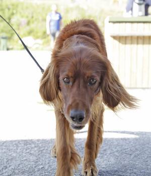 Birgitta Håbäcks hund Grey från Malung kan verkligen fokusera blicken. Men här är det näsan som gäller.