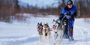 EM i draghund tvingas flytta tävlingarna från Falun till Åsarna, på grund av snöbrist. Tova-Liza Willenfeldt. Foto: Björn Flaschen.
