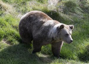 Björnen har i alla tider vördats och aktats för sin styrka i Sverige, kanske är det därför jägarna så gärna vill mäta sin styrka med den. Och genom jakttroféer såsom skinn och skallar av dem påvisa sin egen storhet och styrka?, anser Maria Ljung, frilansande djur- och naturvärnare i sin debattartikel.  Foto: Berit Roald/TT
