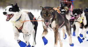 Stor entusiasm och dragvillighet från Anders Strids hundar.