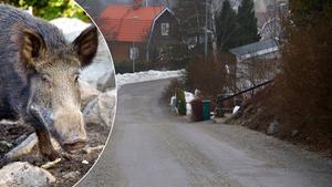 Dagarna efter vildsvinsattacken på Valsverksvägen i Fagersta berättar Eva-Britt om händelsen. Foto: Arkiv/Rasmus Hammarström