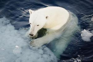 Isbjörnarna kommer att få det väldigt besvärligt om isarna minskar i Arktis. Foto: Nick Cobbing / Norsk Polarinstitutt