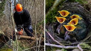 Flera fågelarter blir nu av med både ägg och ungar, menar Stig Carlsson med anledning av kommunens avverkning. Bilder: Hasse Holmberg/TT / Kerstin Joensson/TT
