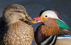 Kärlek utan gränser. Ett mandarinsand och gräsandspar som pussas lite.Foto: Fredrik Findahl