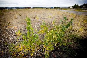 Björksly och olika grässorter, som tuvtåtel, florerar i hamnområdet.