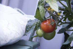 Pia Möllgårds tomater får mycket sol på balkongen och börjar nu mogna.
