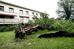 Omkullblåsta träd var ingen ovanlig syn i Gävle i går efter torsdagens oväder. Här några i Strömsbro.
