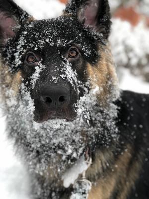 Ägaren berättar: Hej, här är jag när jag leker i snön.Jag älskar snö och när den väl är här så vill jag vara ute och leka hela dagarna, jag älskar när mamma och pappa sparkar snö som jag får fånga. I år har jag inte fått leka särskilt mycket i snön då den knappt visats sig alls. Jag hoppas att det kommer jättemycket snö i början på 2020 så jag får leka med mamma och pappa och även visa min nya lillebror eller lillasyster hur kul det är med snölek.Blöta pussar och kramar från Boss. Foto: Nathalie Sjölin