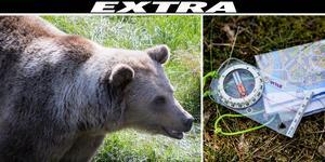 En orienterare attackerades av en björn i skogen i Voxna under lördagen. Björnen på bilden har inget med artikeln att göra.