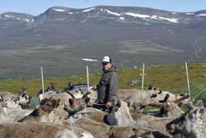 Mikael Andersson söker efter en omärkt kalv.