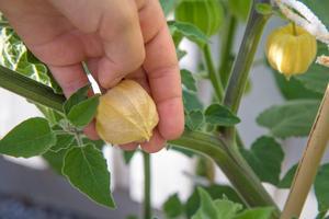 Många av physalisfrukterna är gröna fortfarande, men när de börjar bli gul-orange kan de skördas.