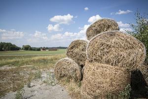Säby gård skrapar ihop så mycket foder de kan i torkan.