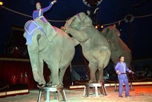 Elefanter och sjölejon kommer inte att få visas upp på cirkus längre efter en ändring i djurskyddsförordningen. Foto: Håkan Degselius