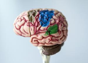 I huvudet finns hjärnan. Det är ett organ som fyller många funktioner. Sedan 1988 är det hjärnans tillstånd som avgör om du räknas som död eller inte. Foto: Christine Olsson/TT