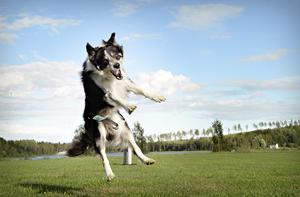 Samarbete. För att bli en riktigt bra och lydig hund, måste man leka och busa mycket med varandra, menar Ann-Catrine Norvall från Kramfors, som snart åker till SM i Ronneby för att tävla med sin hund Lexo.
