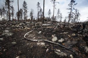 Sot, döda träd och avbrända brandslangar präglar skogen i Ängra efter brandkatastrofen.