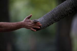 Människor måste hjälpa elefanter så att de inte blir utrotade.