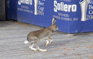 Hare på  pubrunda på jaktfri mark.